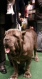 Neapolitan Mastiff, 2.5 years, Brown