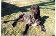 Neapolitan Mastiff, 8 months, Brown
