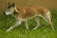 New Guinea Singing Dog, 1 year, Brown