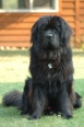 Newfoundland, 1 year, Black