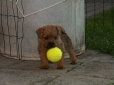 Norfolk Terrier, 2 months, Brown