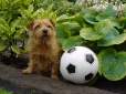Norfolk Terrier, 2 years, Brown