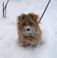 Norfolk Terrier, 5 months, Brown