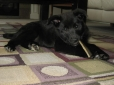 Norwegian Buhund, 2 months, Black