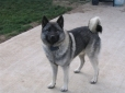Norwegian Elkhound, 1.5 years, Gray