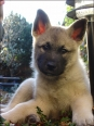 Norwegian Elkhound, 2 months, Gray