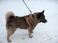 Norwegian Elkhound, 7 months, Brown