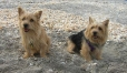 Norwich Terrier, 1.5 years, Brown
