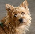 Norwich Terrier, 2 years, Brown