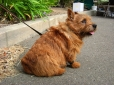 Norwich Terrier, 5 months, Brown