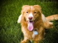 Nova Scotia Duck Tolling Retriever, 1 year, Gold