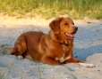 Nova Scotia Duck Tolling Retriever, 2 years, Gold