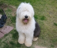 Old English Sheepdog, 1 year, Black and White