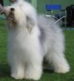 Old English Sheepdog, 1 year, Gray and White