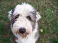 Old English Sheepdog, 1.5 years, Black and White
