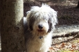 Old English Sheepdog, 1.5 years, Gray and White