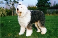 Old English Sheepdog, 2 years, Gray and White