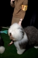 Old English Sheepdog, 9 months, Black and White