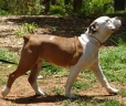 Olde English Bulldogge, 1 year, Brown and White