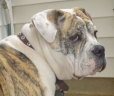 Olde English Bulldogge, 2 years, Brown and White