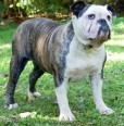 Olde Victorian Bulldogge, 2 years, Brindle
