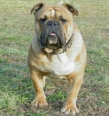 Olde Victorian Bulldogge, 2 years, Brown