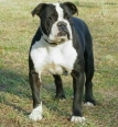 Olde Victorian Bulldogge, 2 years, Mantle