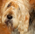 Otterhound, 2 years, Brown