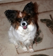 Papillon, 1 year, brown