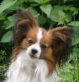 Papillon, 1.5 year, Brown