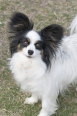 Papillon, 2 years, Tri color