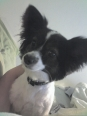 Papillon, 3 years old, Black and white