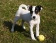 Parson Russell Terrier, 4 months, brown and white