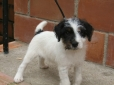 Parson Russell Terrier, 4 weeks, tri color
