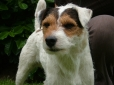 Parson Russell Terrier, 7 months, Brown and White