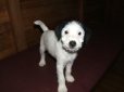 Parson Russell Terrier, 7 weeks, Black and White