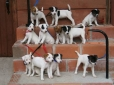 Parson Russell Terrier, 8 weeks, all colors