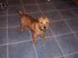 Patterdale Terrier, 4 months, brown