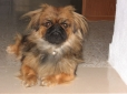 Pekingese, 1 year, Tri Color