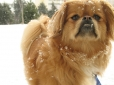 Pekingese, 1.5 years, Brown