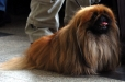 Pekingese, 2 years, Brown