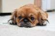 Pekingese, 8 months, Brown