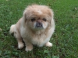 Pekingese, 9 months, Brown