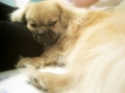 Pekingese, Unknown, Aurburn Beige