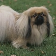 Pekingese, Unknown, Beige and White