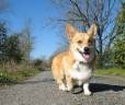 Pembroke Welsh Corgi, 1 year, Brown