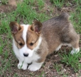 Pembroke Welsh Corgi, 2 months, Brown