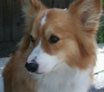 Pembroke Welsh Corgi, 4 years, red and white