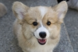 Pembroke Welsh Corgi, 6 months, Brown