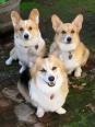 Pembroke Welsh Corgi, 9 months, Brown